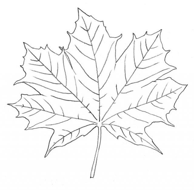 кленовые листочки рисунок смело