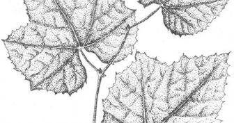 Рисунки карандашом листья винограда (20 фото)