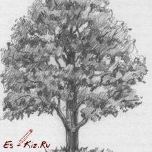 Рисунки карандашом дерево дуб (25 фото)