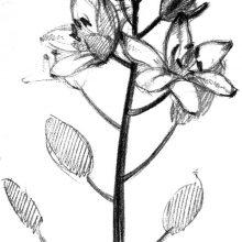 Рисунки полевых цветов  карандашом (23 фото)