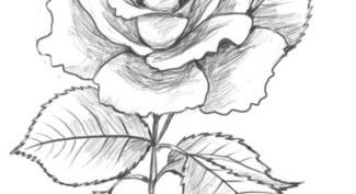 Рисунки цветов карандашом для срисовки (30 фото)