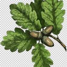 Рисунки карандашом листьев разных деревьев (25 фото)