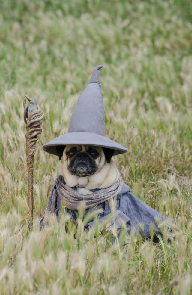 fancy-dress-pugs_2