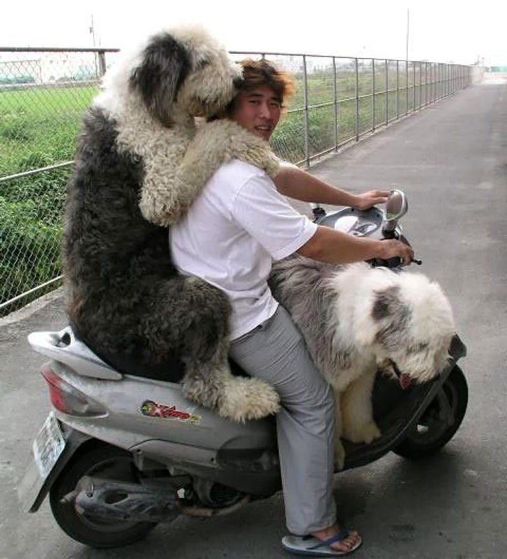 Overloaded-Dog