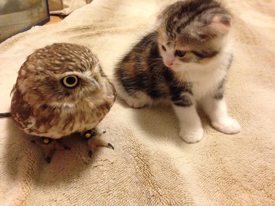 owl-kitten-in-hokolou-coffee-1