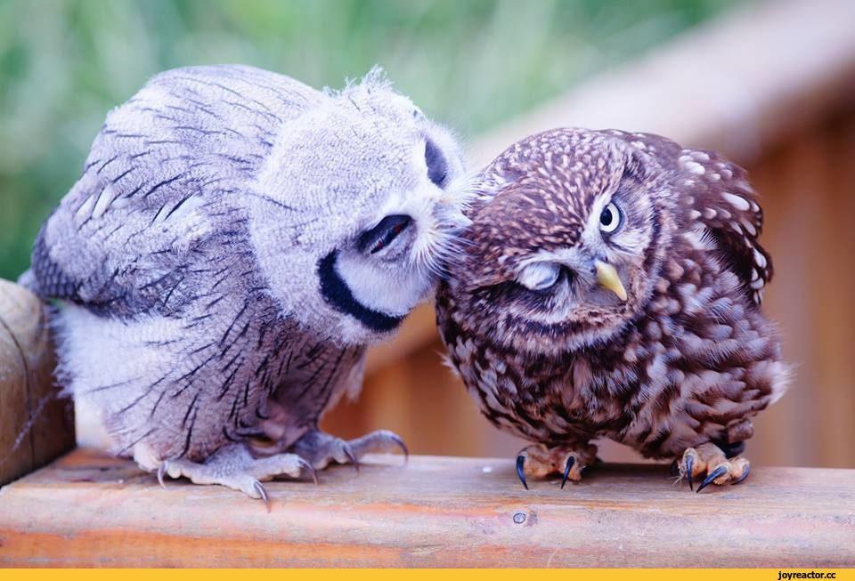 Картинки сумасшедшая сова