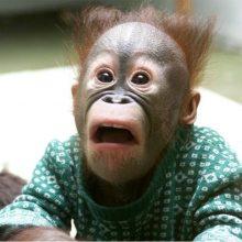 Прикольные фото обезьян. (12 фото)