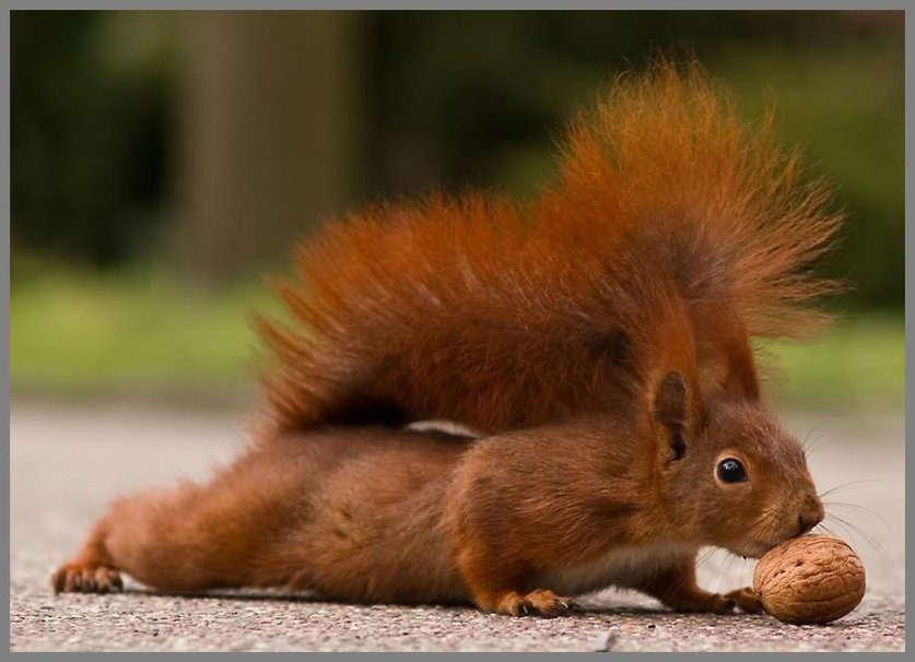 605471__squirrel-with-nut_p
