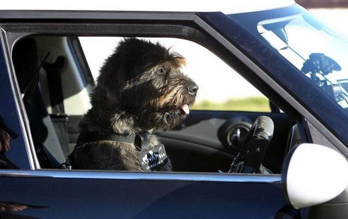 driving-dogs-2