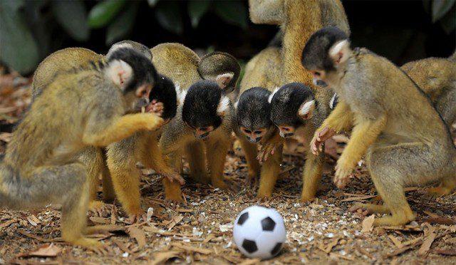 zhivotnye-igrajut-v-futbol-6