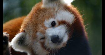 Прикольная малая (красная) панда. (11 фото)