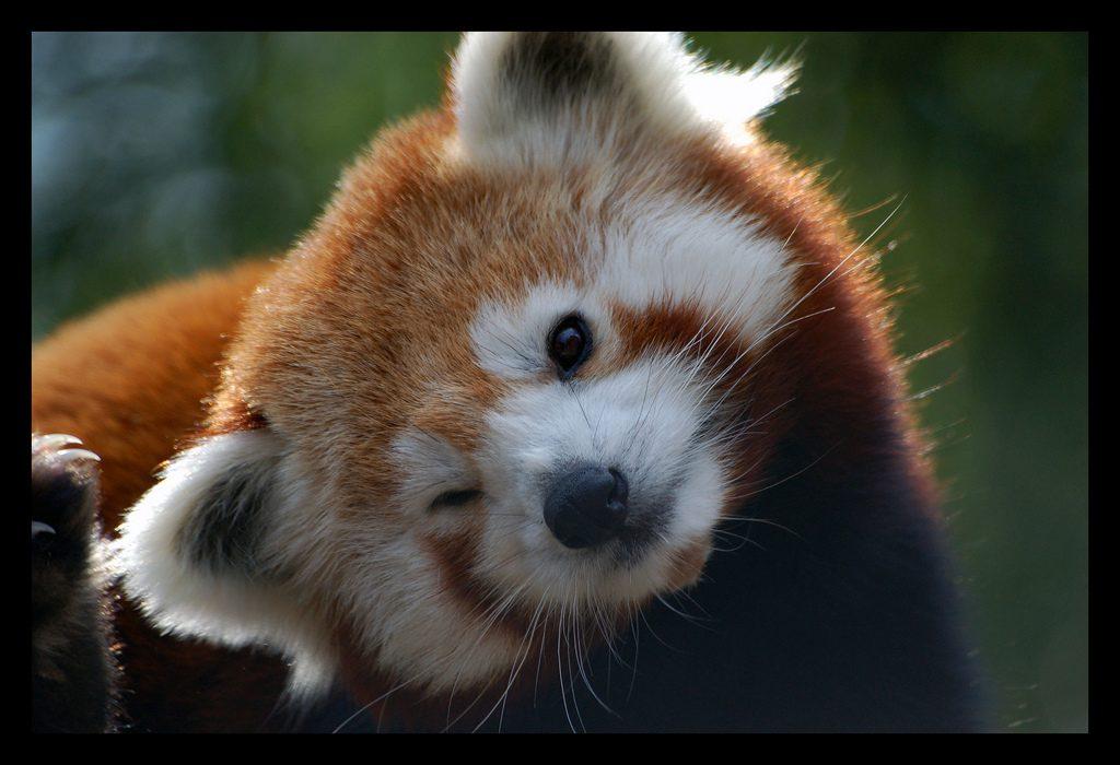 красная-панда-живность-firefox-браузеры-1064688