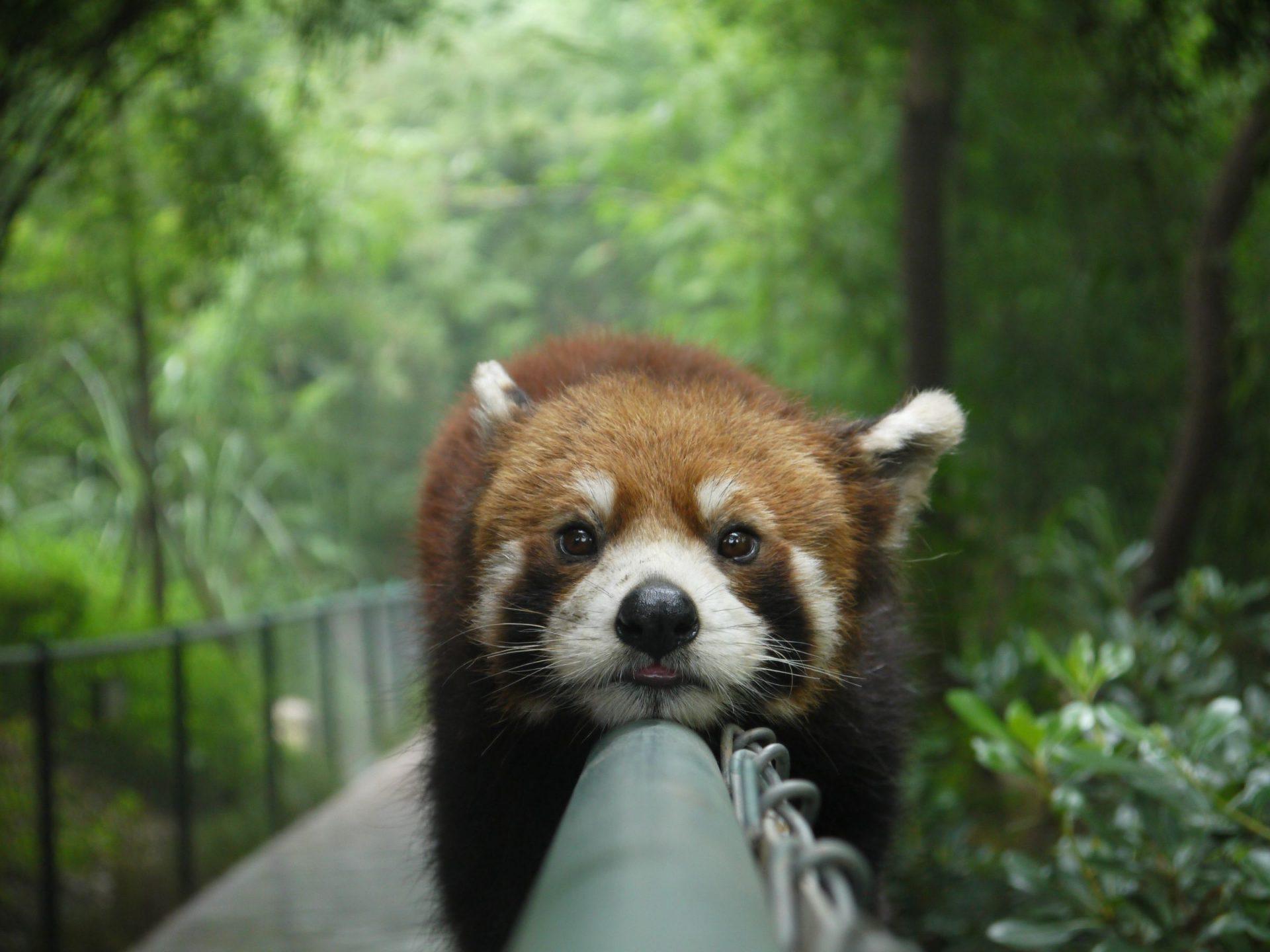 животные-красная-панда-лень-570360