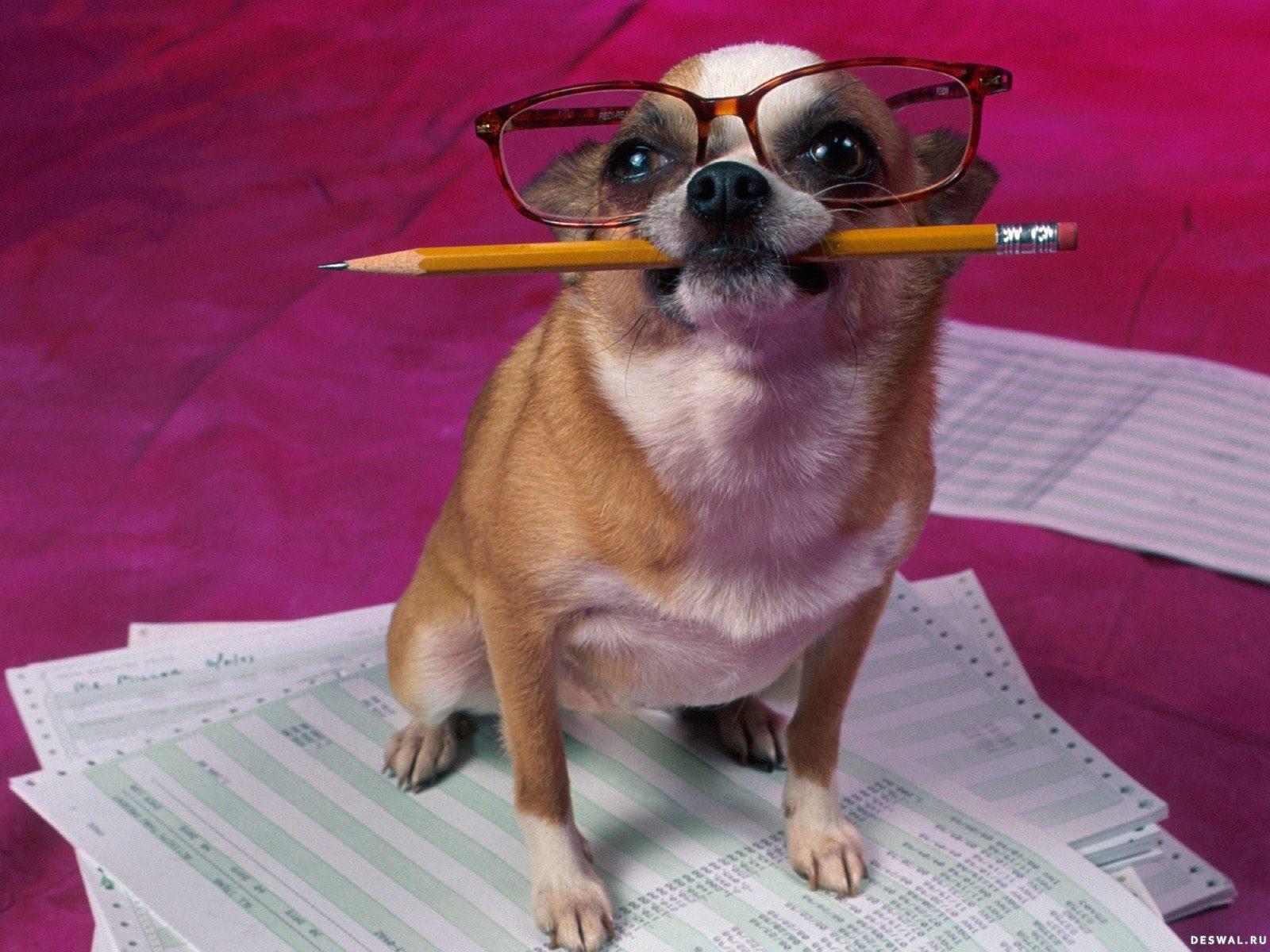 Чихуахуа с карандашом в зубах и в очках.