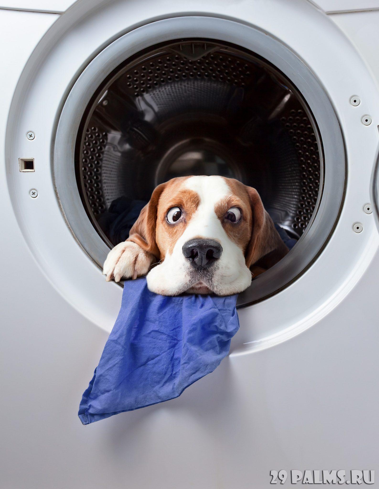 Dog after washing in a washing machine