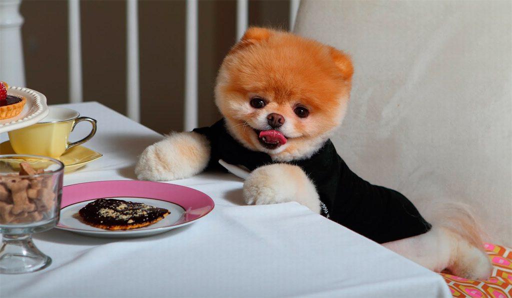 Померанский шпиц завтракает.