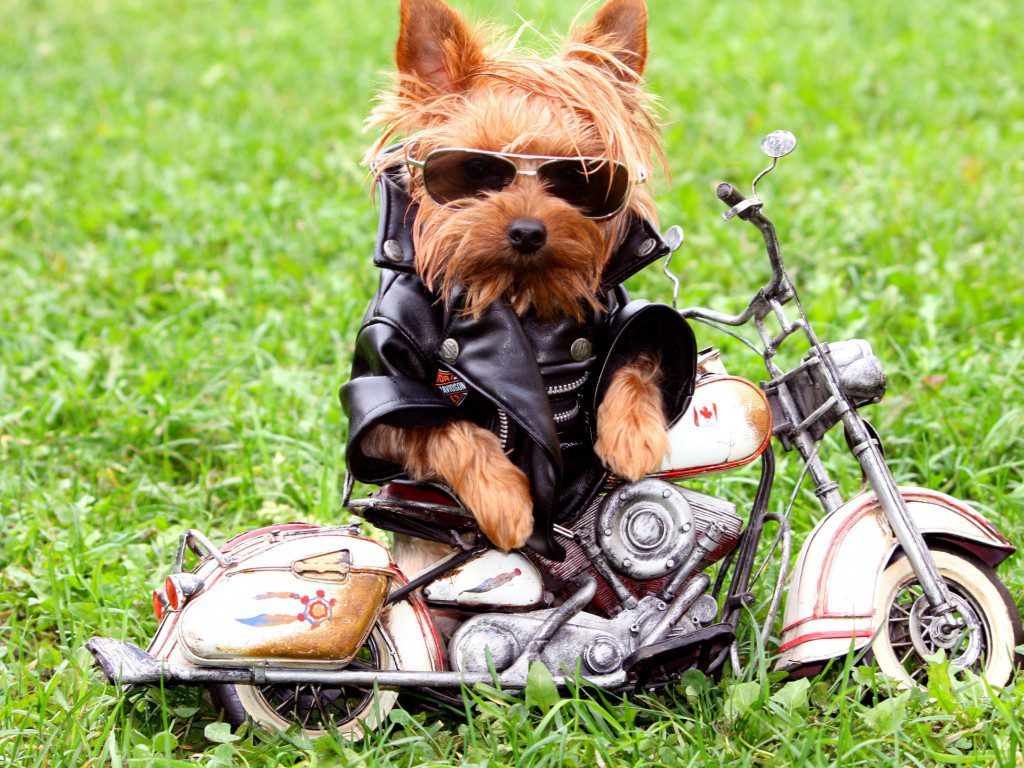 Йоркширский терьер мотоциклист.