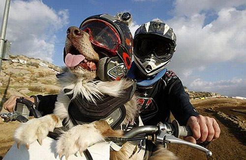 Сенбернар едет на мотоцикле.