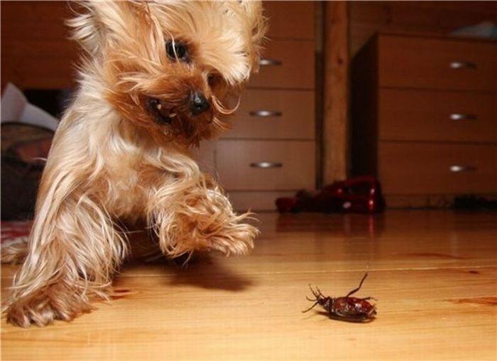 Йоркширский терьер испугался таракана.