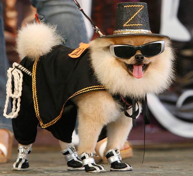 Померанский шпиц в модном костюме и шляпе.