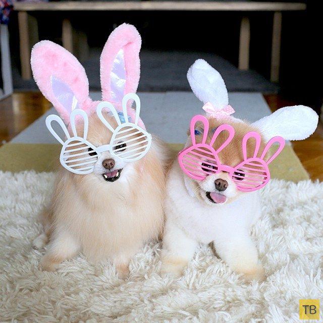 Померанские шпицы в очках и с ушами кроликов.