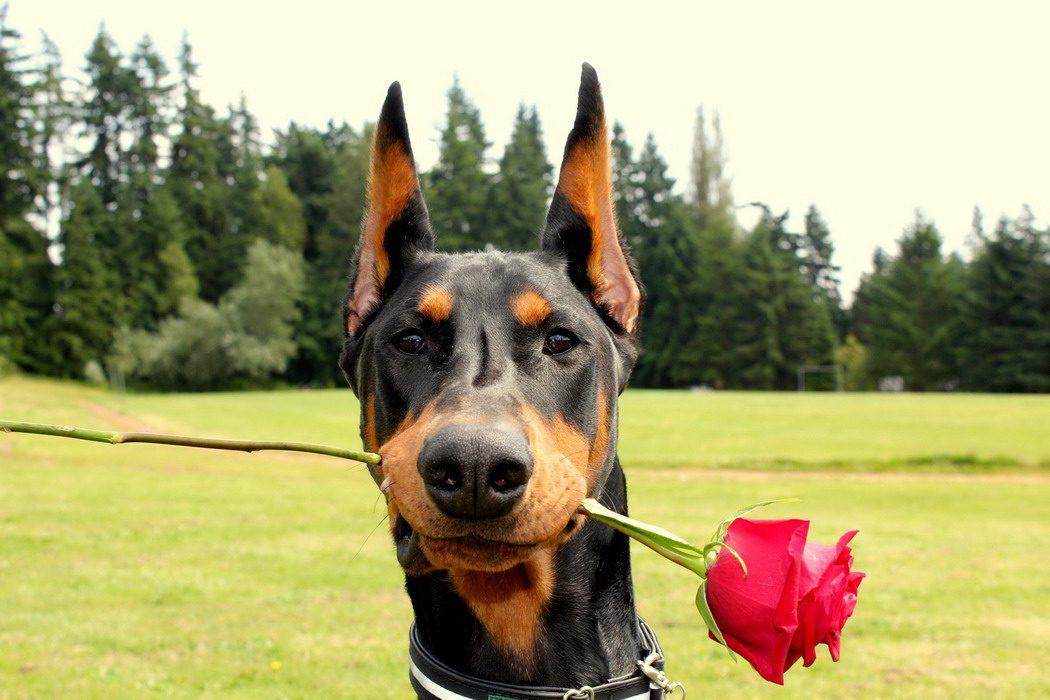 Доберман с розой в зубах.