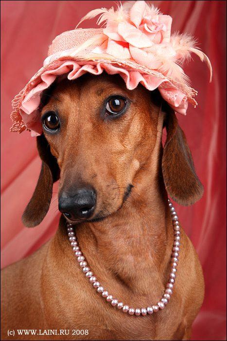 Такса в розовой шляпе.
