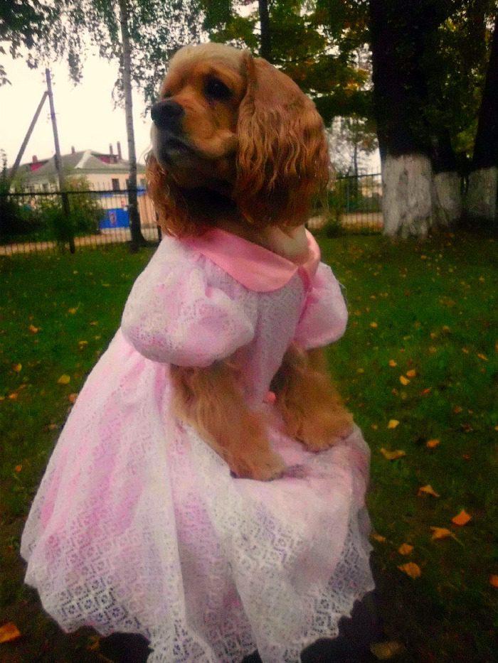 Коккер-спаниель принцесса.