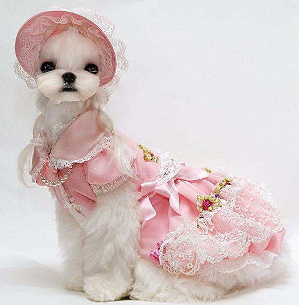 Мальтийская болонка в бальном платье.