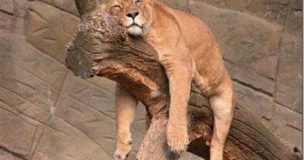 Крепко спящие животные. (11 фото)