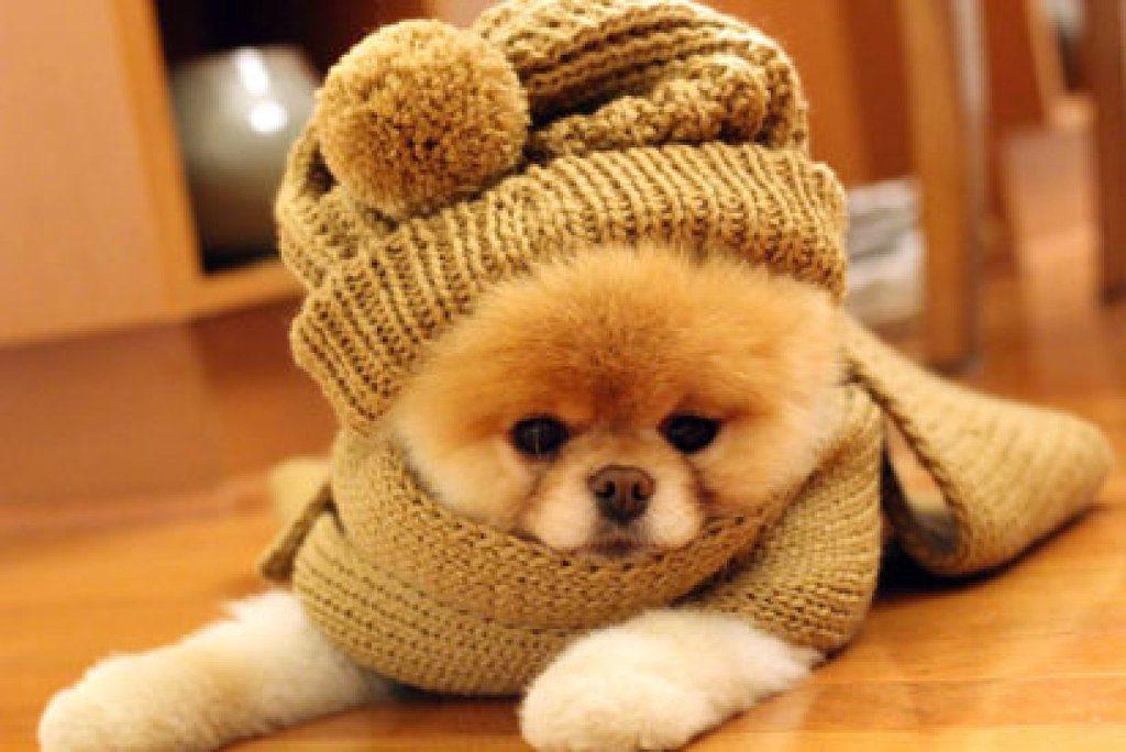Померанский шпиц в зимней шапке и шарфе.