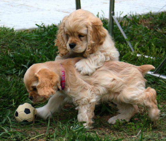 Коккер-спаниели играют в мячик.