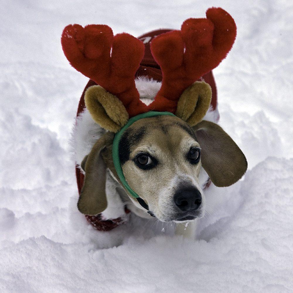 Бигль в костюме новогоднего оленя.