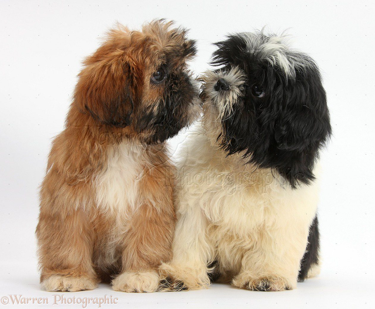 Brown and black-and-white Shih-tzu puppies kissing