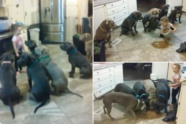 4-year-old-controls-pack-of-pit-bulls