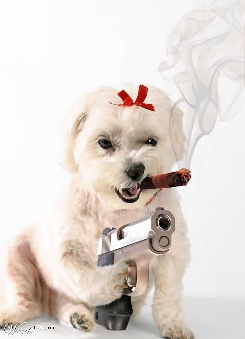 Мальтийская болонка с пистолетом и сигарой.
