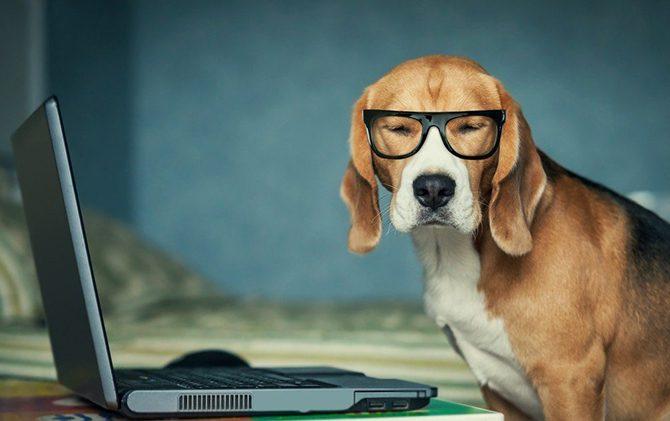 Бигль в очках работает за компьютером.
