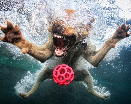 malamut-nyryaet-pod-vodu-za-igrushkoj