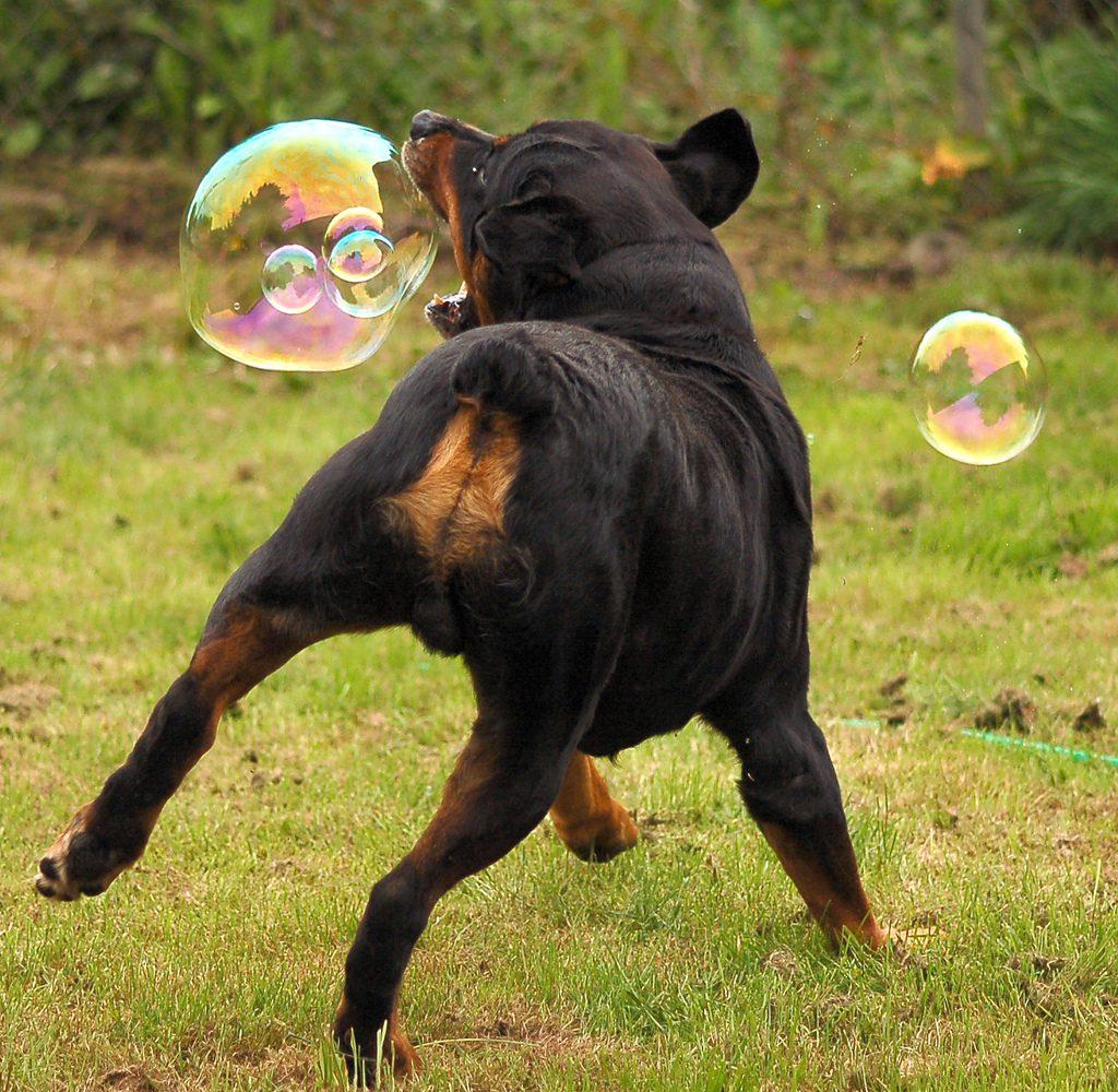 Ротвейлер ловит мыльные пузыри.