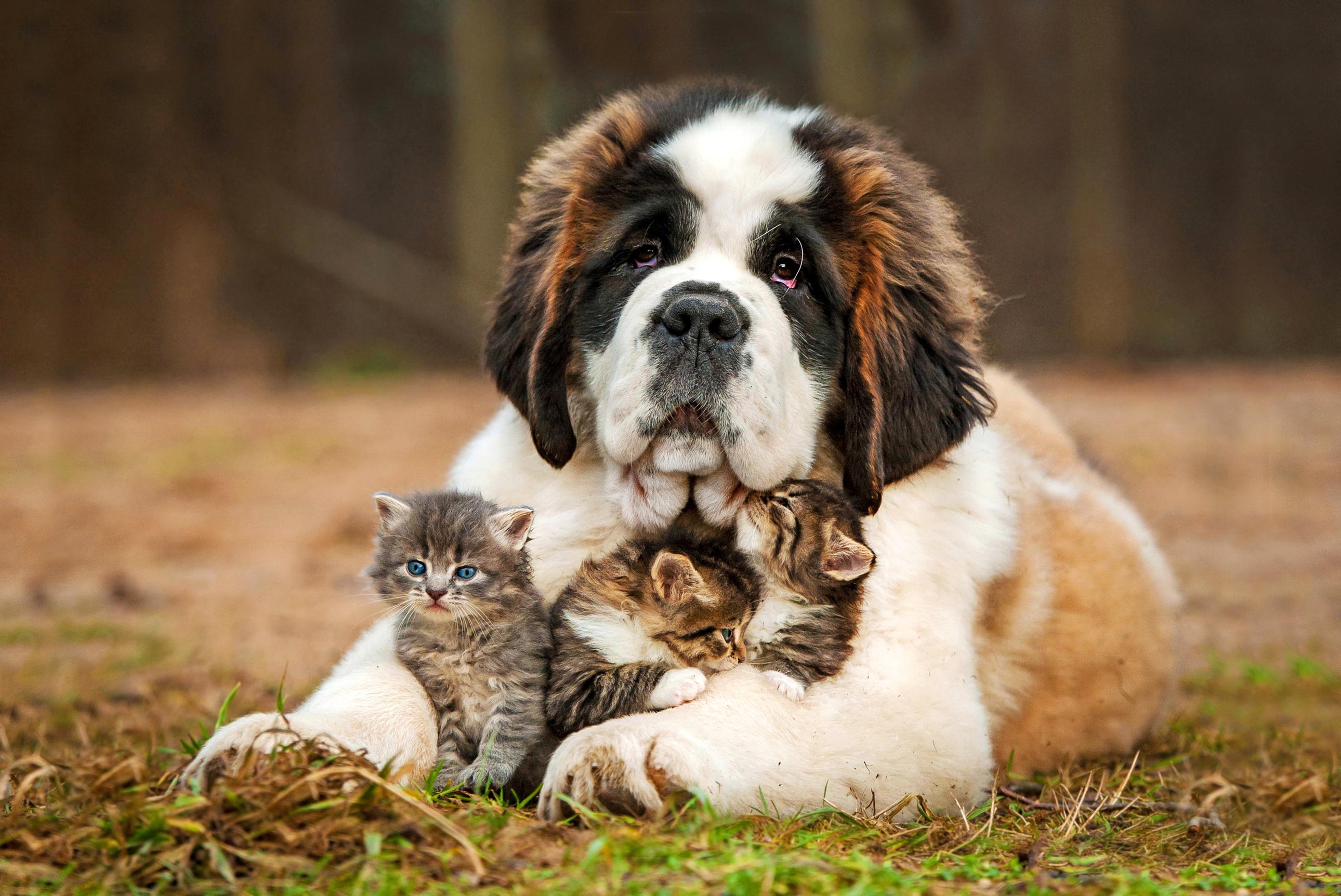 Сенбернар  обнимает котят.