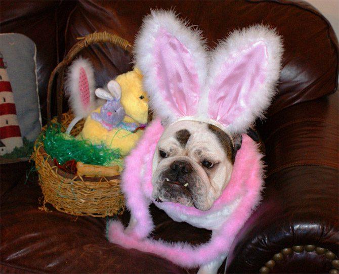 Бульдог в костюме кролика.