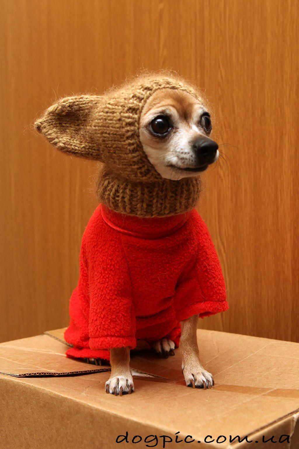 Чихуахуа в зимней вязаной одежде.