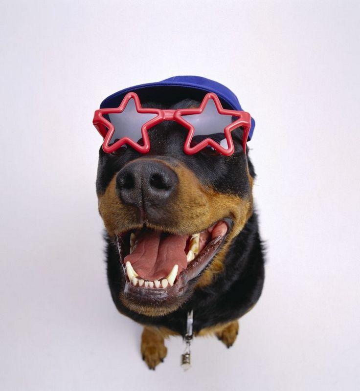 Ротвейлер в смешных очках-звездах.