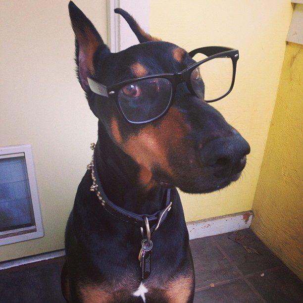 Доберман в очках.