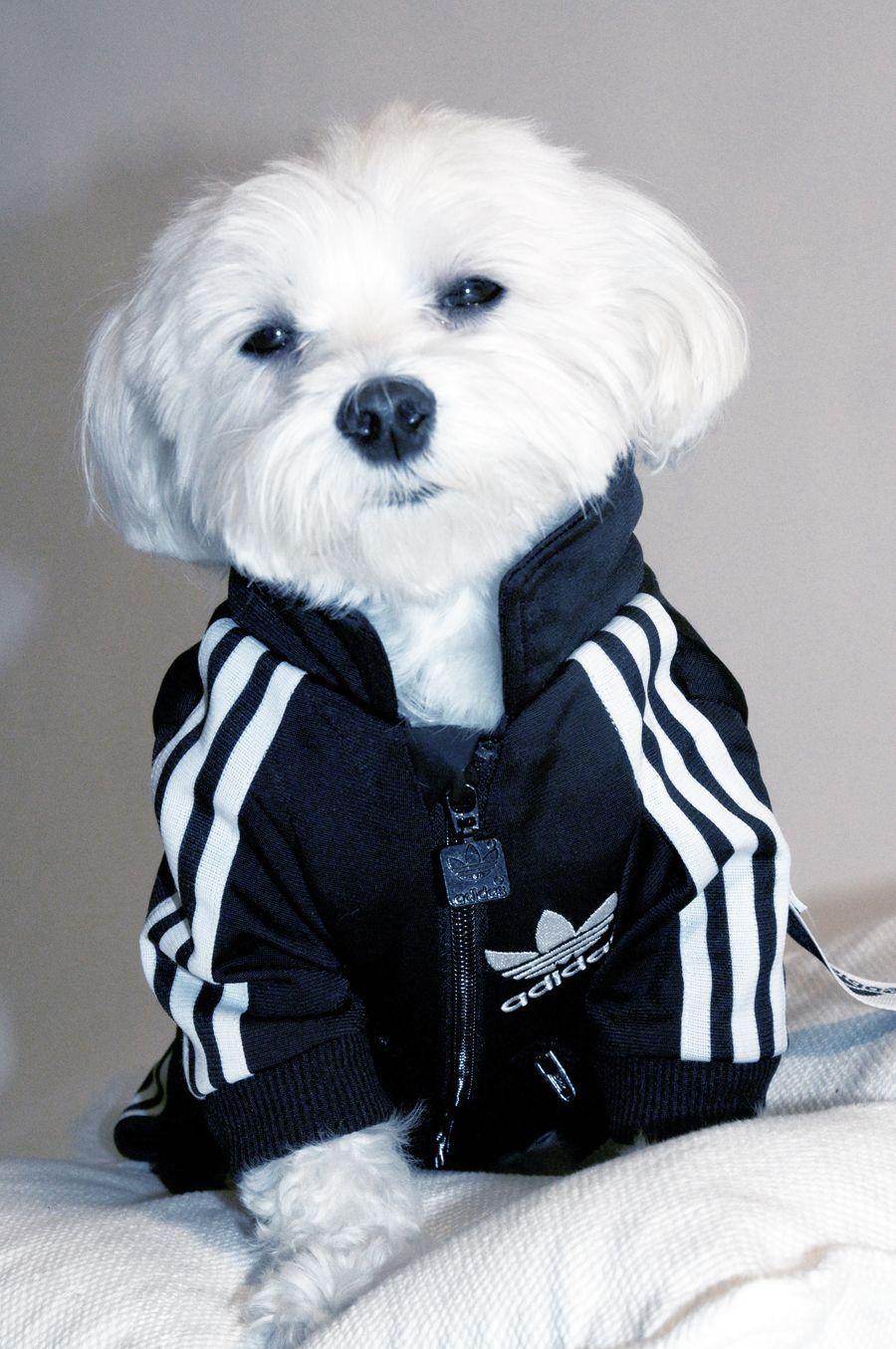 Мальтийская болонка в спортивном костюме.