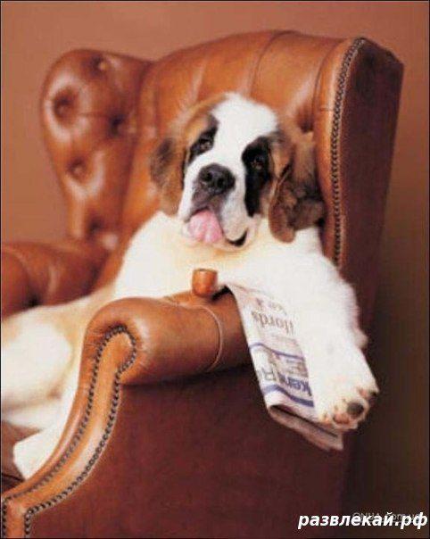 Сенбернар  отдыхает в кресле.
