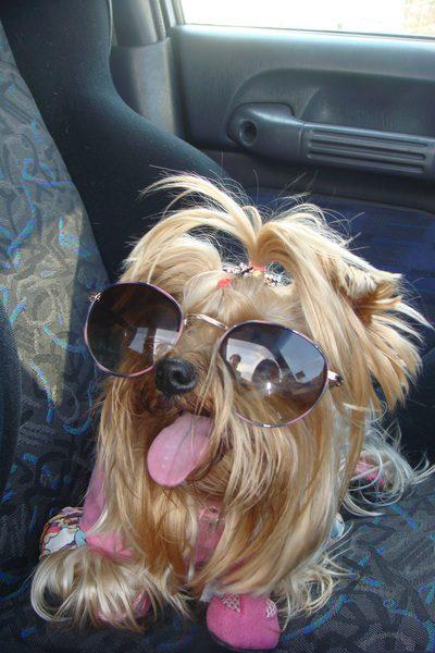 Йоркширский терьер в солнечных очках.