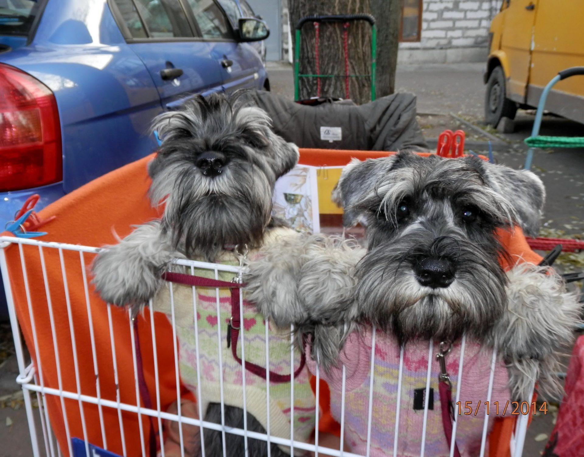 Цвергшнауцеры в корзине с покупками.
