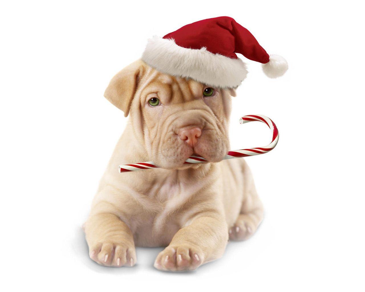 Шарпей в рождественском колпаке.