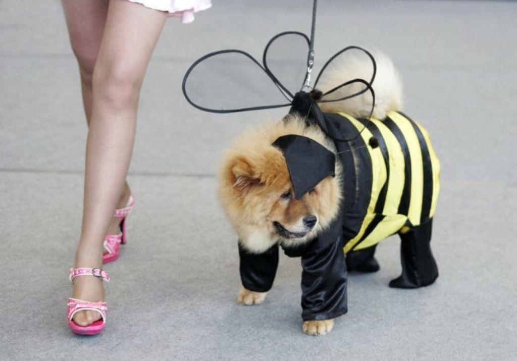 Чау-чау в костюме пчелы.